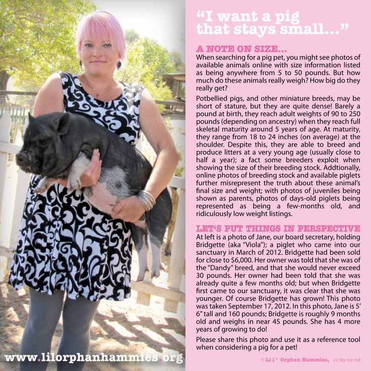 Pot Belly pig facts