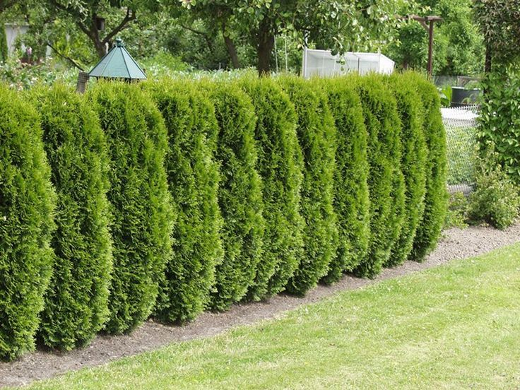 Lebensbaum (Thuja) kaufen und bestellen ✓ Heckenpflanzen finden Sie online und in Ihrem OBI Markt vor Ort ✓ OBI - alles für Heim, Haus, Garten und Bau
