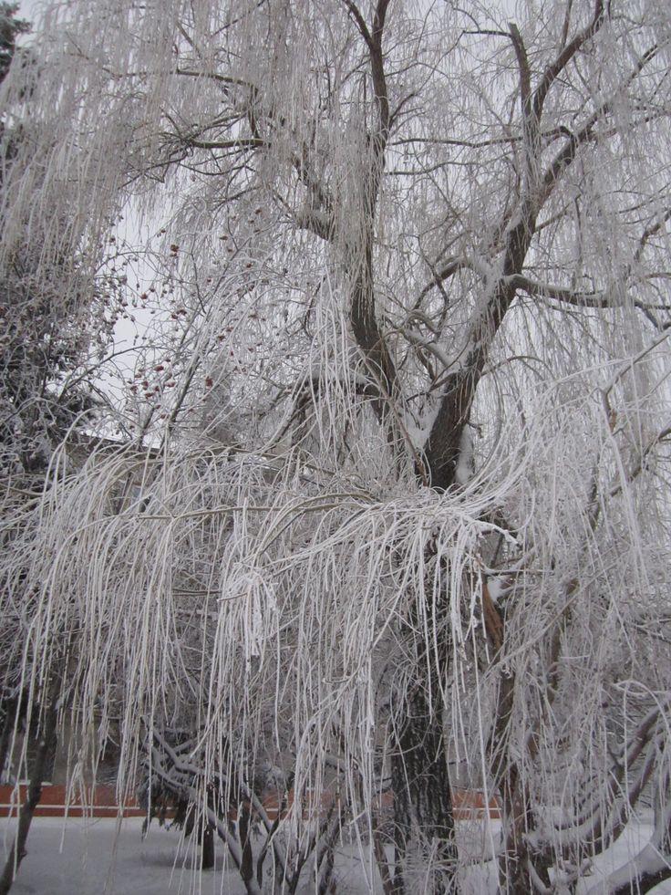 Обнимает мохнатыми лапами Мороз иву у края пруда. В её длинные косы, гирляндами, Он вплетал жемчуга до утра. Наталия Бегутова