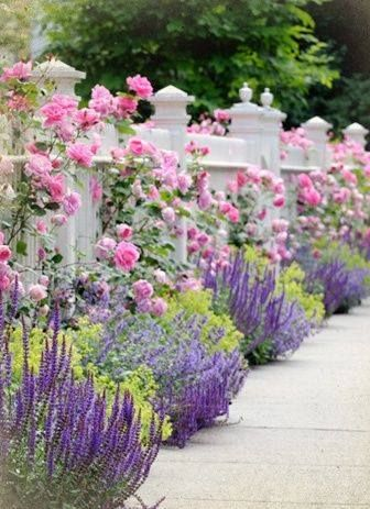 pink roses and lavender planted against white picket fence