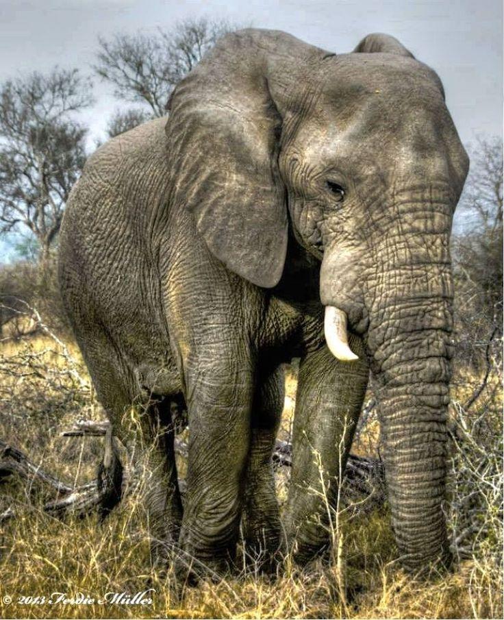 Elephant Bull by Ferdie Muller