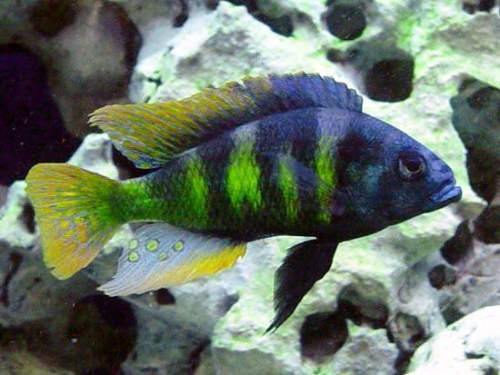 "haplochromis | Male Haplochromis sp. 44 ""Red Tail"" © H. Blair Howell"
