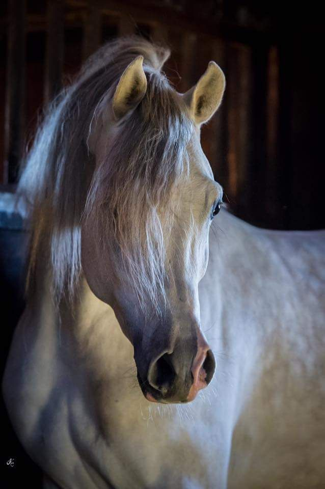 Wow! Simply stunning! Beautiful creamy colored horse with dappled coat.                                                                                                                                                                                 Plus