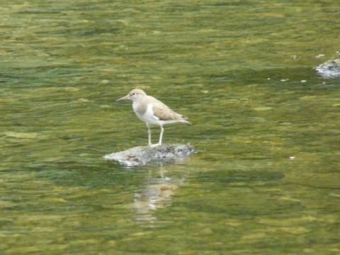 Common Sandpiper: calls the tune | Nature Notes