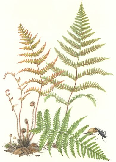 title ; Fern Dryopteris erythrosora medium ; watercolor on paper image size ; 24 x 16 1/2 (H x W)