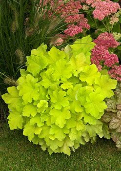 'Citronelle' coral bells (Heuchera 'Citronelle') - one of the best, brightest (but not blinding--really) Heucheras for shade. Love it paired with the sedum and fountain grass!