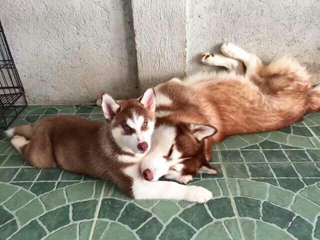 Love red huskies