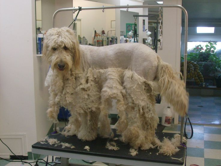 Goldendoodle Cut Images Puppy Cut For A Goldendoodle