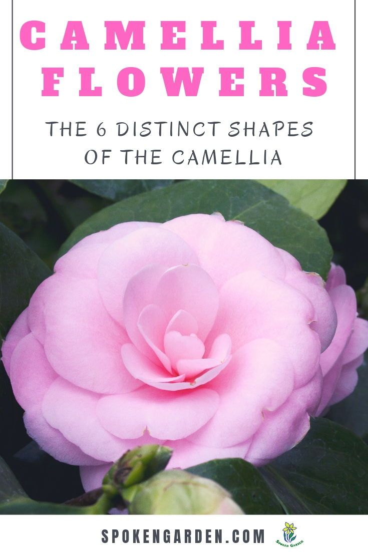 The Camellia Flower And Its 6 Delightful Shapes Diy Garden Minute Ep 47 Spoken Garden Camellia Flower Camellia Tree Flowers