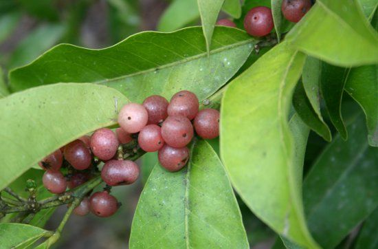 PINK-FRUITED LIME BERRY Glycosmis trifoliata