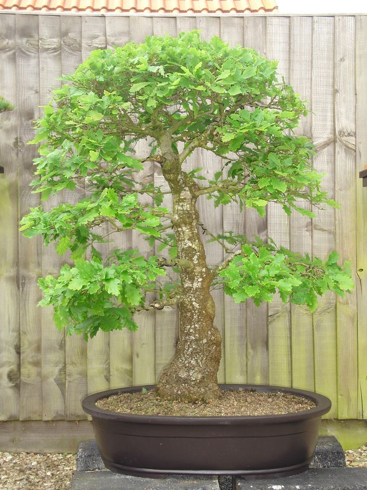 321 besten bonsai bilder auf pinterest bonsai pflanzen. Black Bedroom Furniture Sets. Home Design Ideas