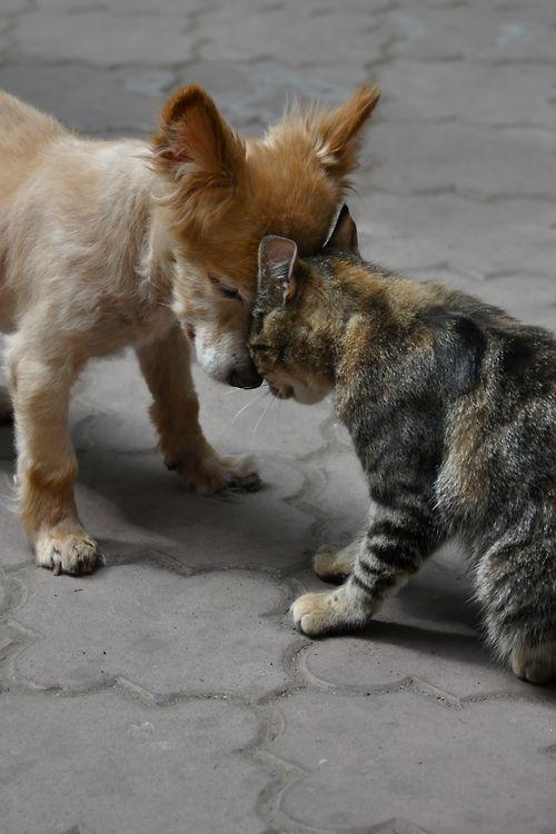 friendly *headbonk* amigos - amizade - gato - cachorro