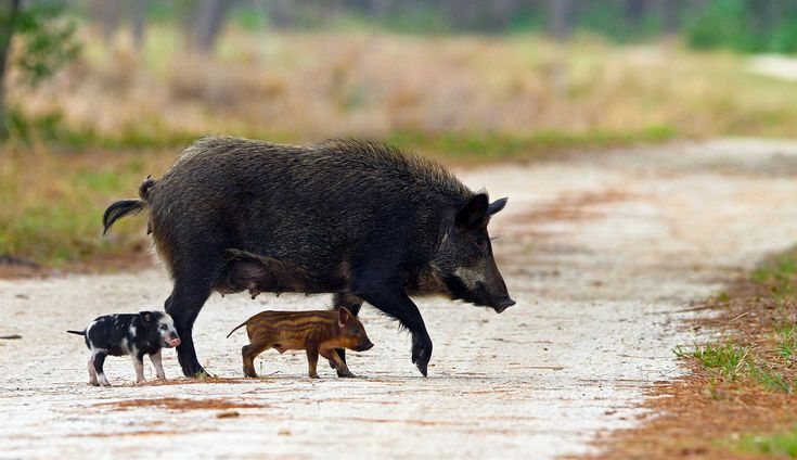 Destructive Feral pigs have become a nuisance causing thousands of dollars in damage to property.