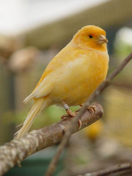 Kanarie - Canary - Bird graphics