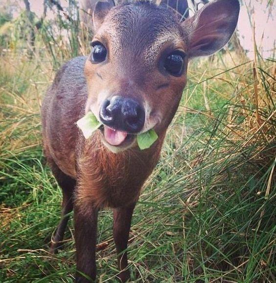 Cute Monk-jack Deer Caught Eating