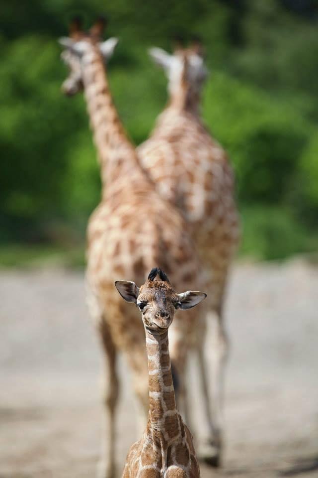 Rothschild Giraffe Calf Bonds with Mom at Dublin Zoo