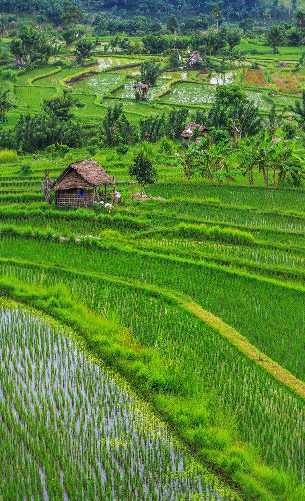 Rice terraces close to Ubud. Bali, Indonesia