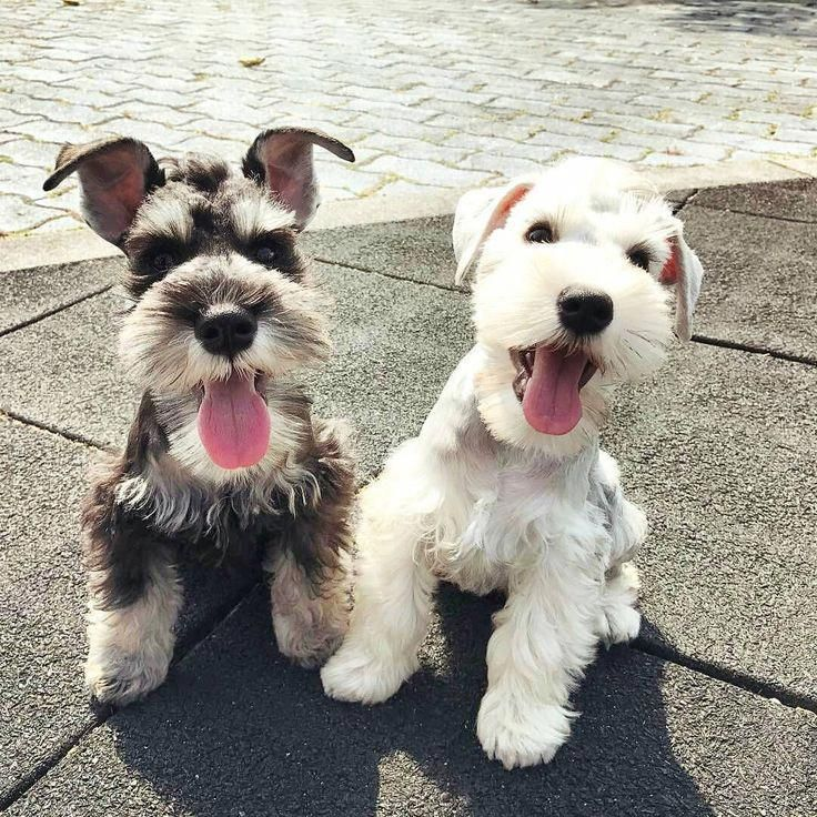 Fantastic Schnauzers Info Is Available On Our Internet Site Take A Look And You Will Not Be Sorry Miniature Schnauzer Puppies Schnauzer Puppy Schnauzer Dogs