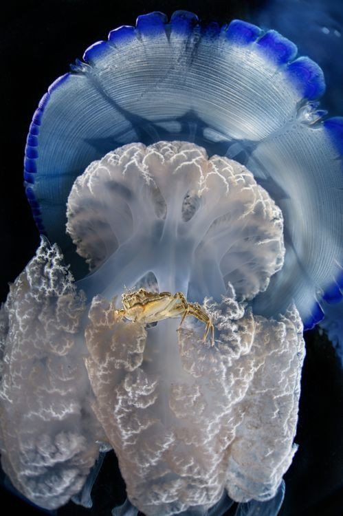 A jellyfish, in the company of his guest                                                                                                                                                                                 More