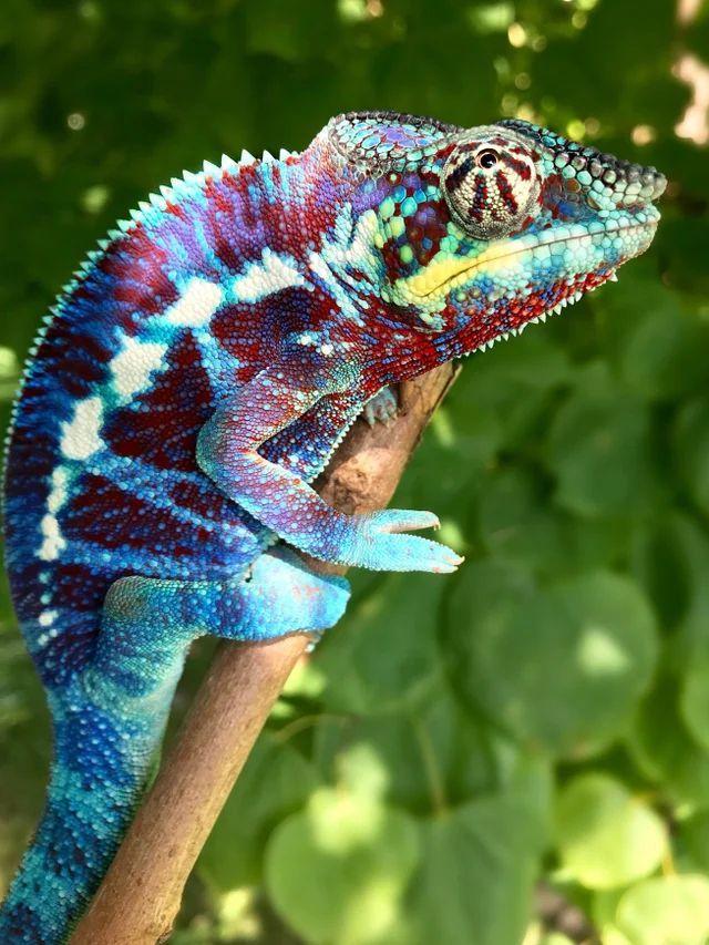 Panther Chameleons Reptiles In 2020 Chameleon Pet Cute Reptiles Cute Lizard