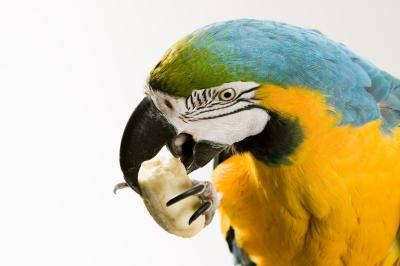 List of Food Not Good for Parrots