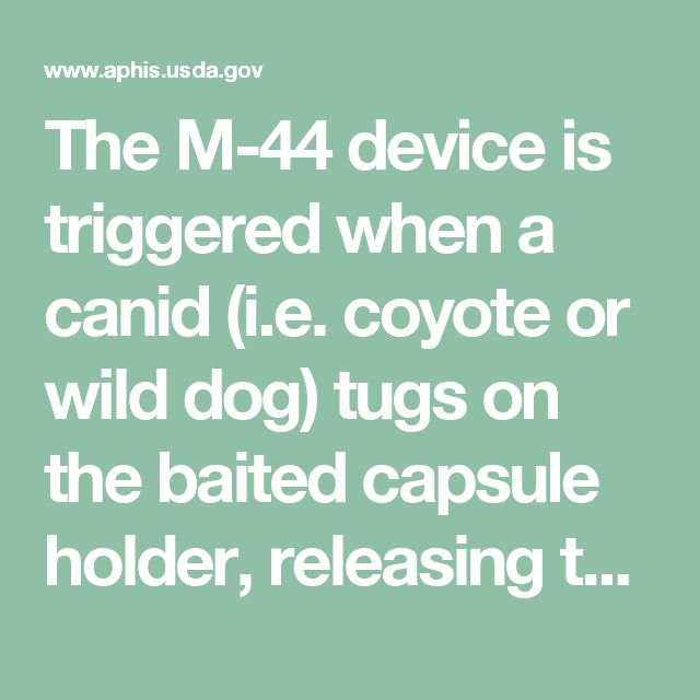 The M-44 device is triggered  when a canid (i.e. coyote or wild  dog) tugs on the baited capsule  holder, releasing the plunger and  ejecting sodium cyanide powder  into the animal's mouth. The  sodium cyanide quickly reacts  with moisture in the animal's  mouth, releasing hydrogen  cyanide gas. Unconsciousness,  followed by death, is very quick,  normally within 1 to 5 minutes  after the device is triggered.