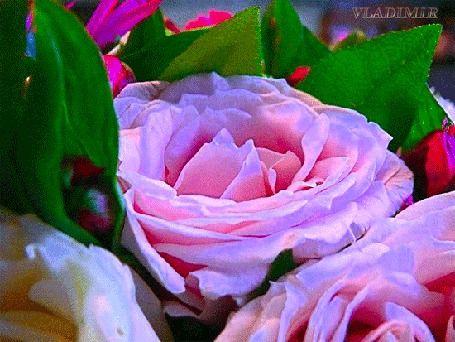 Animacja różowe róże zbliżenie, Vladimir