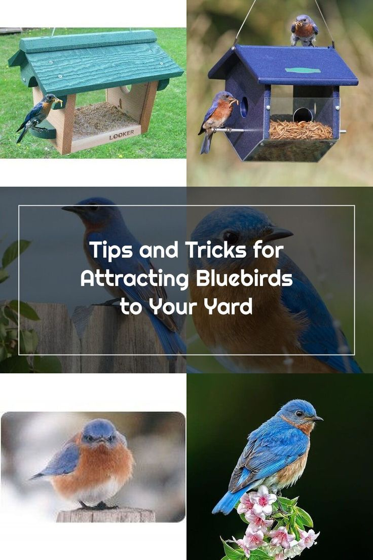 Tips and Tricks for Attracting Bluebirds to Your Yard in ...