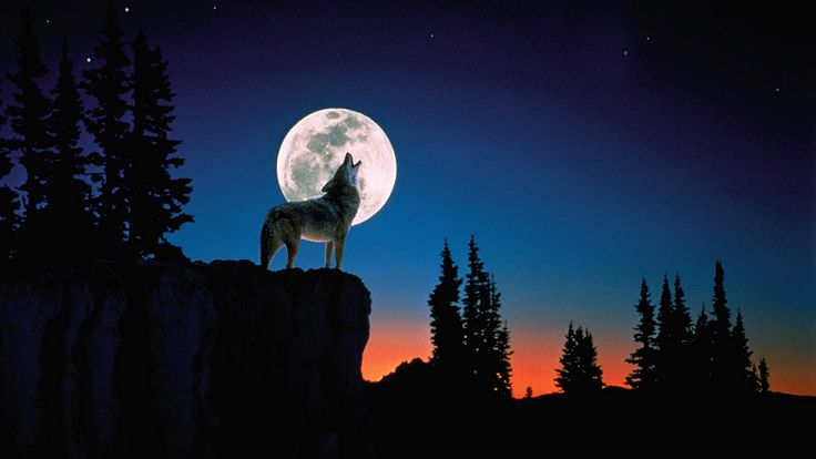 Lobo aullando a la luna llena | lobos | Pinterest | Lobo aullando ...