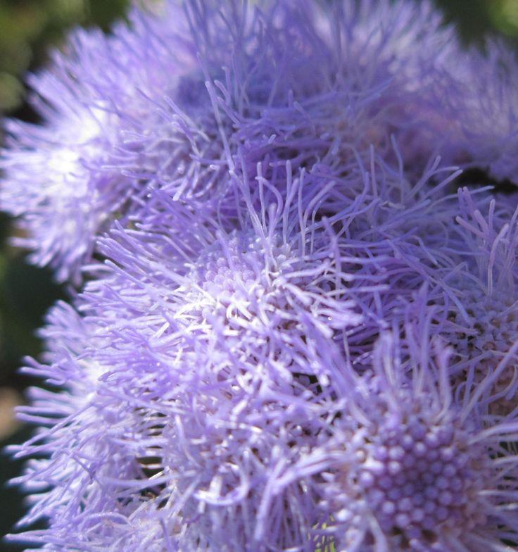 Пышные соцветия агератума мексиканского. На своей родине (в тропиках Центральной Америки) агератум растет как многолетнее растение. Название этого цветка в переводе означает «нестареющий», что полностью оправдано его не прекращающимся цветением.