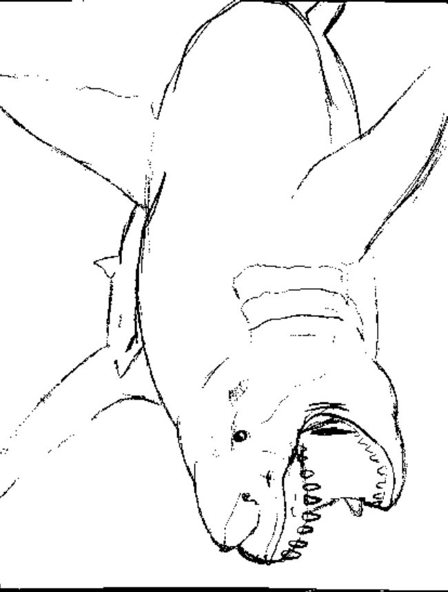 Shark Coloring Pages Pdf : Great white shark coloring pages online asl pinterest