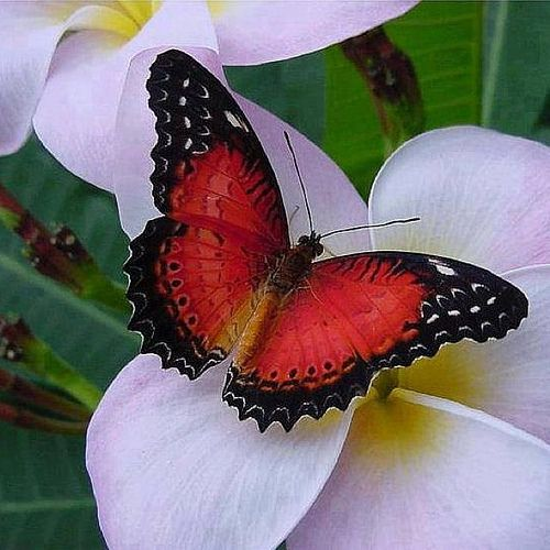 "Red-lacewing Butterfly ~ Miks' Pics ""Butterflies and Moths l"" board @ http://www.pinterest.com/msmgish/butterflies-and-moths-l/"
