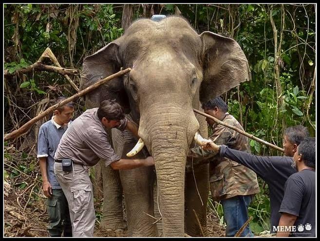 """MEME – """"Ciencia para La Conservación del Elefante Asiático En Malasia"""" por el Dr. Ahimsa Campos-Arcéiz"""