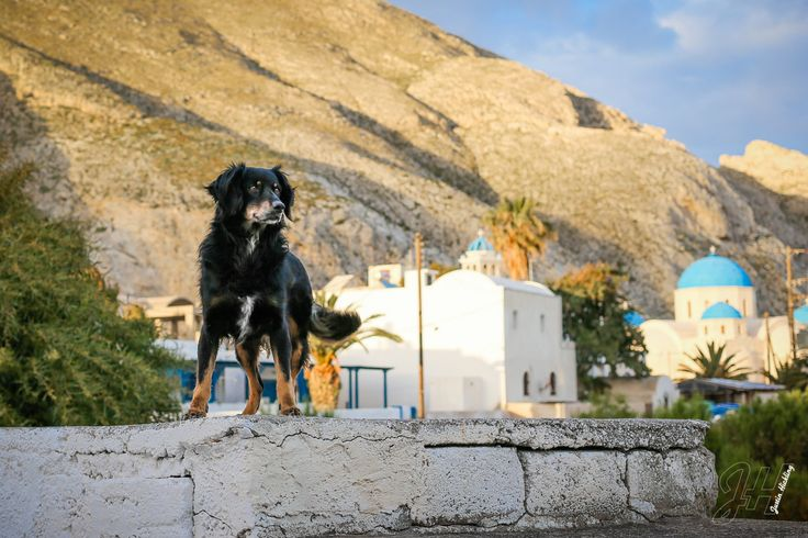 The Abandoned Dogs of Santorini, Greece