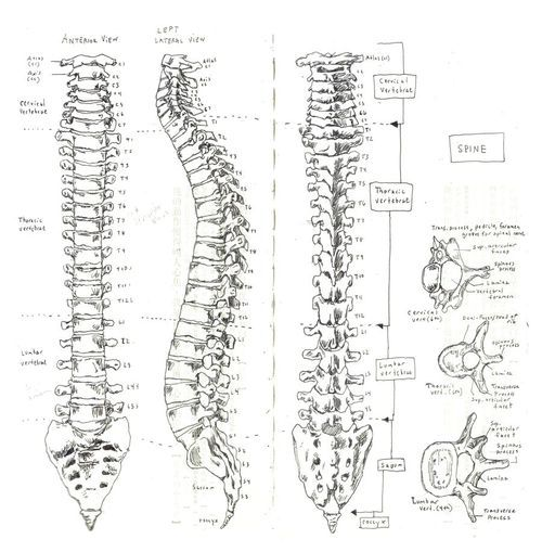 43 best images about the human spine on pinterest