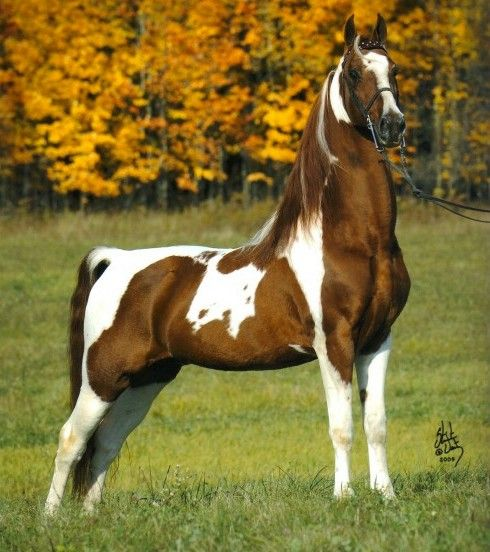 #horses Saddlebred Stallion-Big Mac
