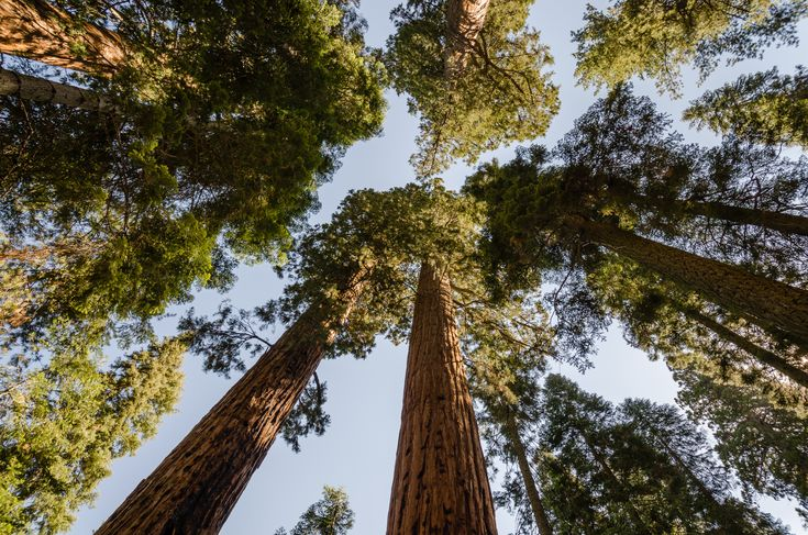 Giant-Sequoias [Sequoiadendron giganteum] photographed into the sky;  Sequoia National Park, California, USA. Click on this image and on the next two images to enjoy the real up-close view of these Giants of our planet Earth.