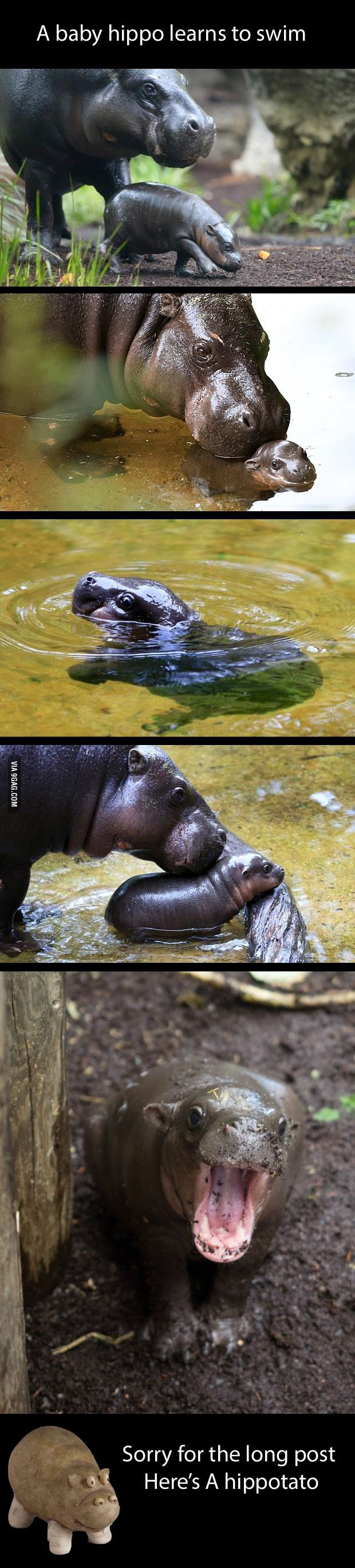 Baby hippo makes me happy - 9GAG