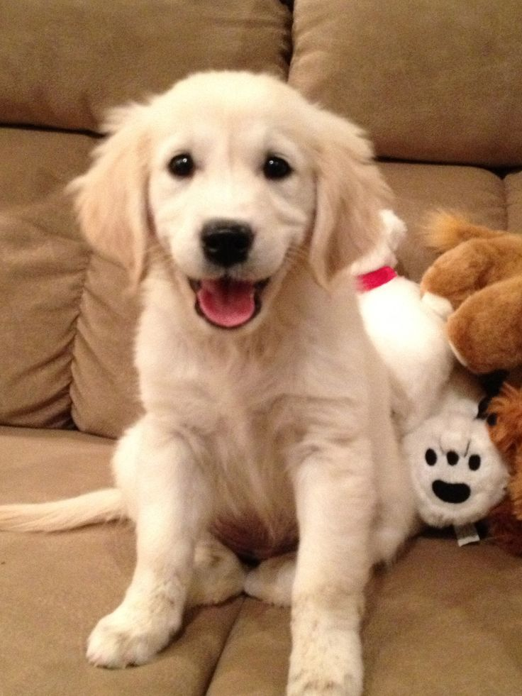 Kismet, golden retriever puppy