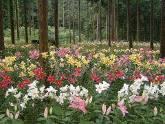 岐阜県揖斐川町の谷汲ゆり園ではユリの花が見頃を迎えています 約3haの広大なヒノキ林の中にカサブランカやルレープアカプルコスターゲザーなど色も形も様々な約50種約30万球のユリが植えられてていてまるで童話の世界のような光景に出会うことができますね 6月25日にはゆりまつりも開催されて郷土芸能の披露などを楽しむこともできますよ tags[岐阜県]