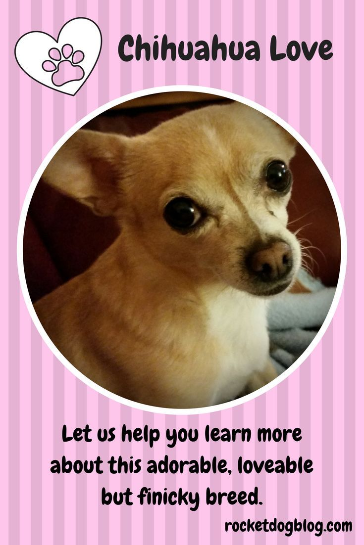 Chihuahua Love Chihuahua Love Cute Animal Quotes Dog Blog