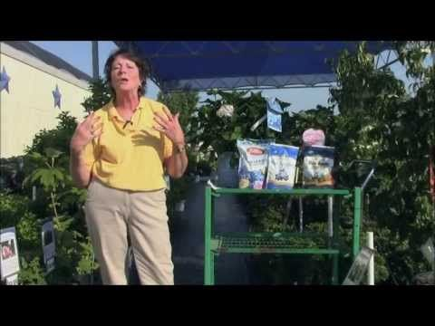 Learn How to Care for Hydrangea with Stauffers of Kissel Hill Garden Center's Garden Guru in this video! www.skh.com.