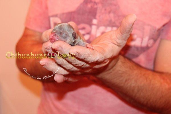 Chihuahuas Love - Cachorros Chihuahuas Bien Desparasitados. Plan de Desparasitación de Nuestros Chihuahuas.