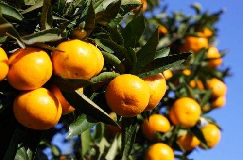 日本でみかんと言えは温州みかんを指しますが、英語ならオレンジ。そんなみかんとオレンジの栄養を比較すると温州みかんには骨粗しょう症、糖尿病に有効な成分が含まれ、更に、発がん性物質から細胞を守る効果はβカロチンの5倍。ダイエットならオレンジ、栄養なら温州みかんの勝ちですね。#健康#Food#料理#レシピ#Recipe