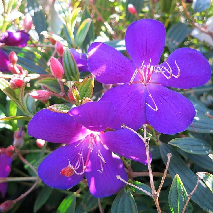Our Glory Bush is one of my favorite plants not only because of its beautiful royal purple flowers but by purchasing this plant you help to support Lanas Love Foundation which helps kids with cancer and their families have fun.  (Zone 10-11)