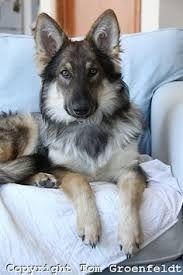 Image result for beagle shepherd
