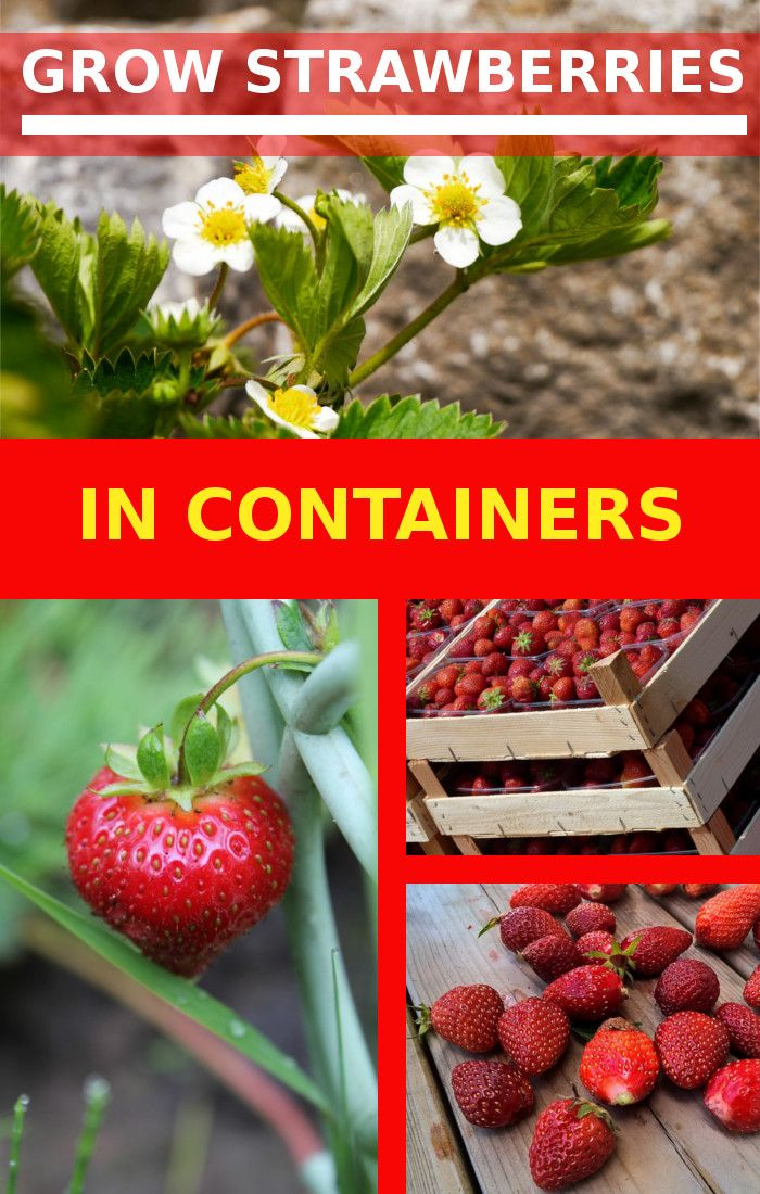 Having a fruit garden is not possible without growing strawberries in that garden. Everyone knows the sweet taste of home grown strawberries. Whether you grow strawberries from seed or from a mother plant. You have to have at least one strawberry plant to feel complete.