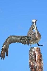 pelican near aruba beach club