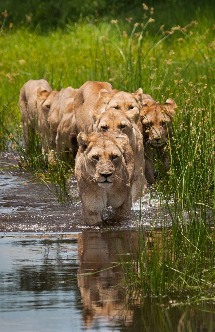 The Tsaro Pride near Duba Plains in Botswana, Africa ...