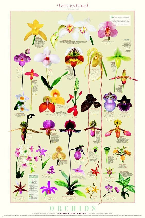 Terrestrial Orchids Poster by The American Orchid Society #Illustration #Orchids: